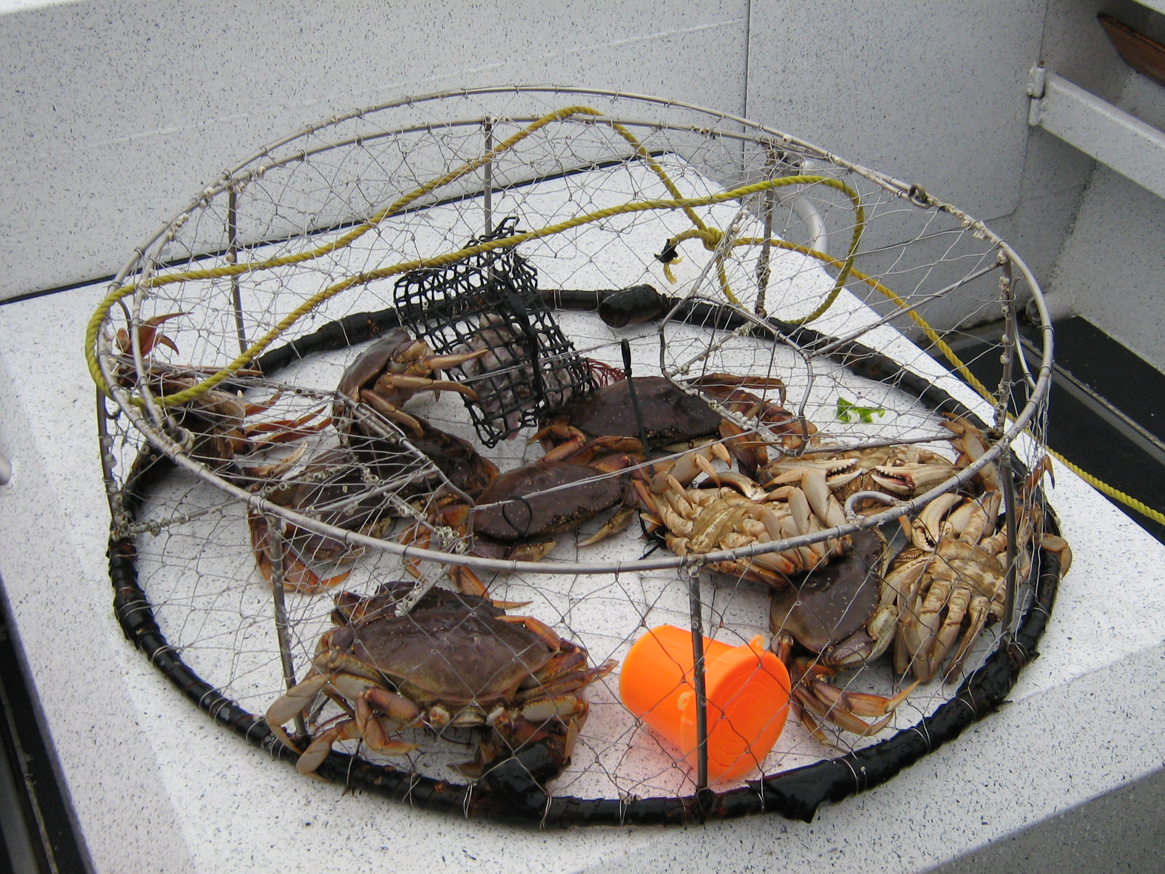 Steamer Clams For Sale Jumbo Maine Lobsters Oyster Clam